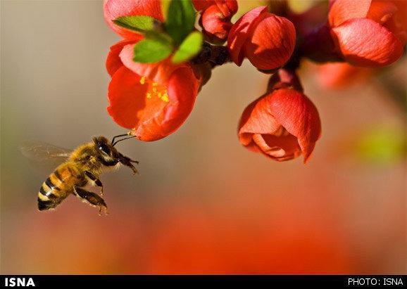 زنبورهای خراسان جنوبی دو برابر سال 98 عسل تولید کردند